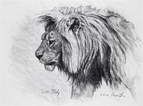 lion study  charcoal  paper   drawing