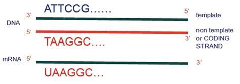 template vs coding strand biology study rna processing in eukaryotes