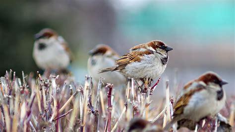 birds hd sparrows wallpapers volganga
