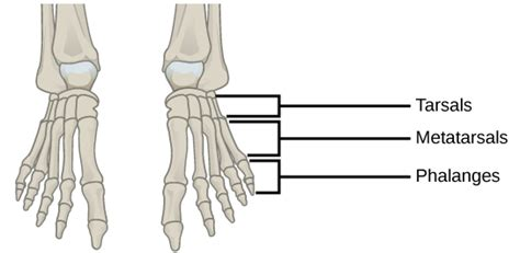 Contrary to expectations, the intrinsic foot muscles contribute minimally to supporting the arch of the foot during walking and running. 19.1 Types of Skeletal Systems - Concepts of Biology-1st ...