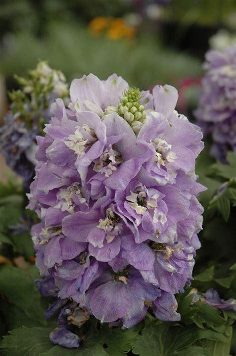 aurora lavender larkspur delphinium aurora lavender