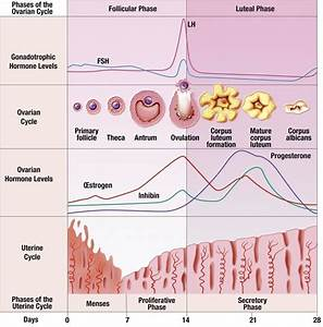 Menstrual Cycle Physiological And Hormonal Changes