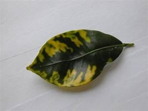 Zitruspflanzen Gelbe Blätter : re gelbe bl tter bei zitruspflanzen limette online ~ Orissabook.com Haus und Dekorationen