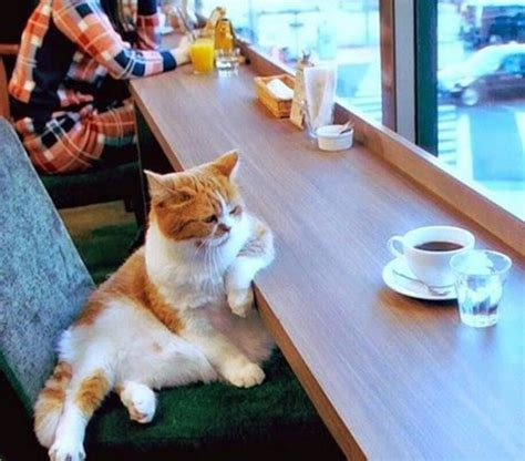 chat au cafe lol chat images    de