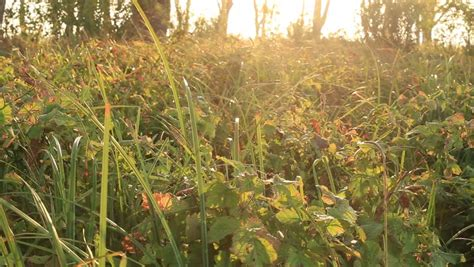 Golden Tall Grass In A Field At Sunset Stock Footage Video