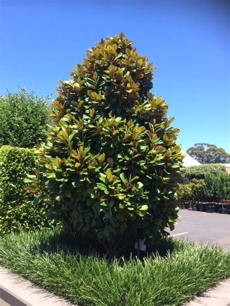 magnolia tree australia magnolia grandiflora teddy bear pbr warners nurseries garden landscaping pinterest
