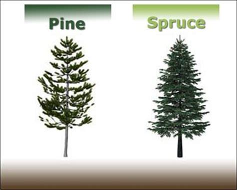 Kiefer Fichte Unterschied by Pine Vs Spruce Photography Pine