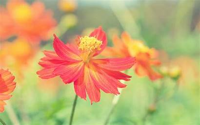 Flower Autumn Cosmos Wallpapers 1200 1080 1920