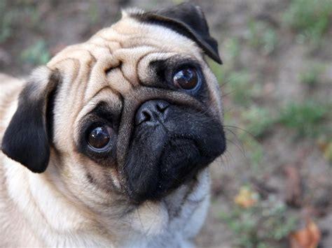 galeria de imagenes raza de perros pug