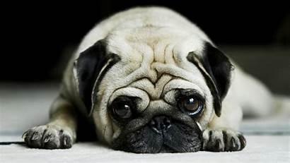Pug Dog Desktop Vodafone Dogs Sadness Puppy