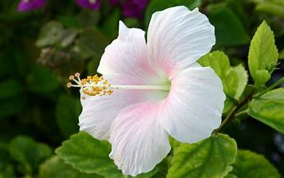 Flowers Hibiscus Pretty Names Inspirationseek Chrysanthemum