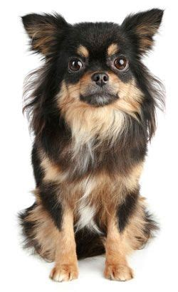 chihuahualong hair   confident feisty courageous