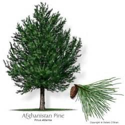 Afghan Pine Tree
