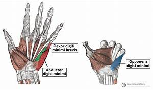 Muscles Of The Extensor Forearm  U0026 Hand