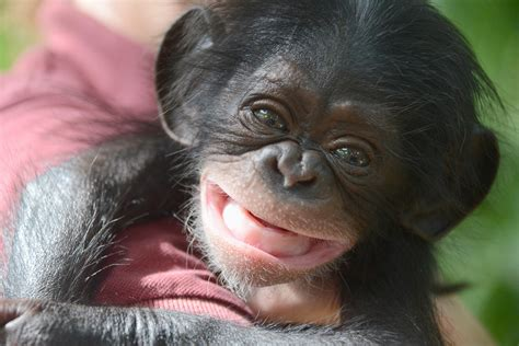 Animal Rescue Wallpaper - baby chimpanzee wallpapers baby animals