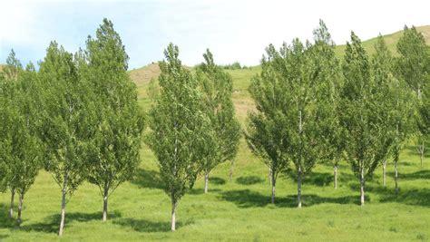 Poplars perfect for preventing erosion | Stuff.co.nz