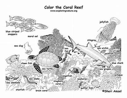 Reef Coral Coloring Labeled Ecosystem Ocean Pages