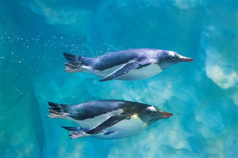 Penguins  National Sea Life Centre Birmingham