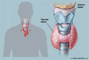 The Thyroid  Human Anatomy   Picture  Function  Definition