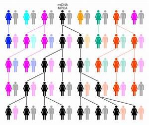 File:MtDNA-MRCA-generations-Evolution.svg - Wikimedia Commons