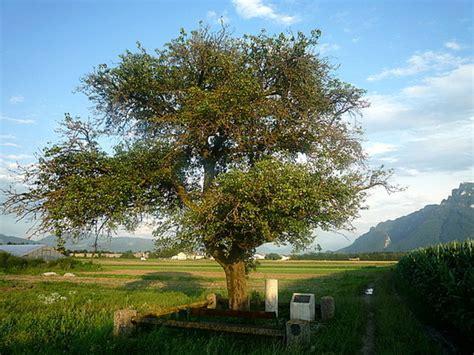 Der Birnbaum Auf Dem Walserfeld  Freilassing Myheimatde
