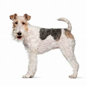 Wire Fox Terrier Dog Breed  U00bb Everything About Wire Fox Terrier