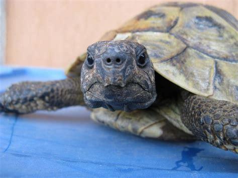 tartaruga terrestre alimentazione alimentazione tartarughe di terra