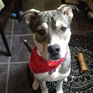 25+ best ideas about Husky pitbull mix on Pinterest ...