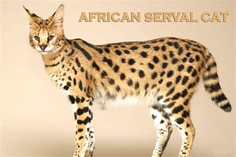 Savannah Cat About Savannahs African Serval Exotic Cat