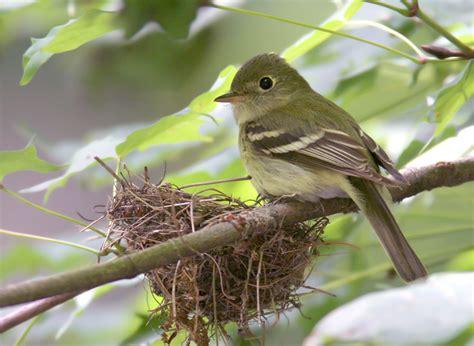 acadian flycatcher facts behavior diet adaptations