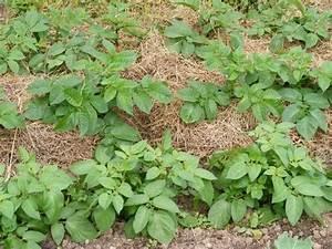 Période Pour Planter Les Pommes De Terre : culture de la pommes de terre en permaculture avec ~ Melissatoandfro.com Idées de Décoration