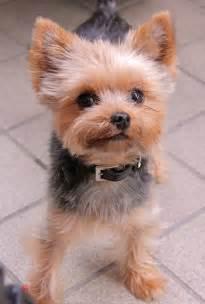 Cute Yorkie Puppy Haircuts