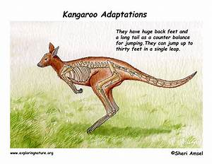 Adaptations Of The Kangaroo