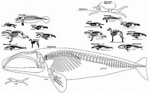 Skeletal Anatomy Marine Mammals