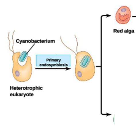 an organism able to form nutritional organic substances chapter 28 protists at university of ta studyblue