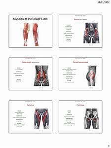 Muscles Of The Lower Limb  Adam  Pdf