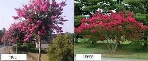 Taille Du Lilas Des Indes : lilas des indes ventes de lilas des indes et d 39 arbustes ~ Nature-et-papiers.com Idées de Décoration