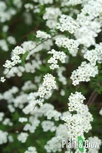 Spiraea Cinerea Grefsheim : spiraea cinerea 39 grefsheim 39 kopen plant grow ~ Orissabook.com Haus und Dekorationen