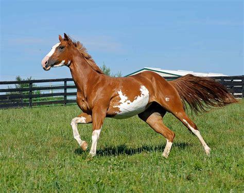 horse feeding energetic horses hype running paint field