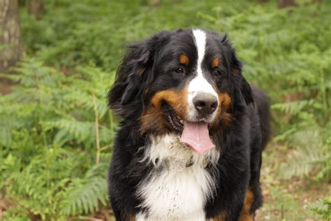 bernese mountain dog soiled in the forest wallpapers and images wallpapers pictures photos