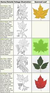 maple trees identification | Life and Wildlife along the ...