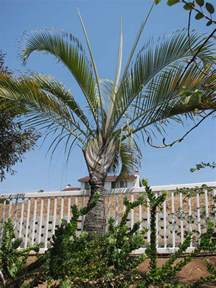 Triangle Palm Tree