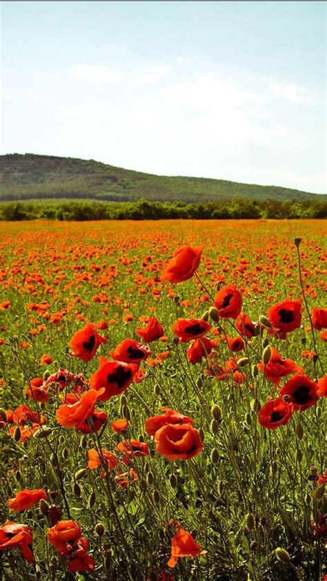 Ukraine Poppy Fields
