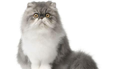 Gatti Persiani Prezzi Gatto Persiano Carattere Origini E Prezzo Cose Di Gatti