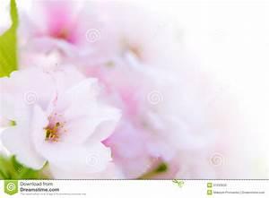 Spring Blossoming Sakura Flowers On The White Background ...