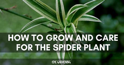 Spider Plant Care (chlorophytum Comosum