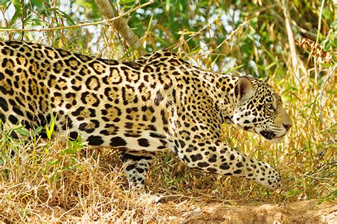 Jaguar Hunting Gallery