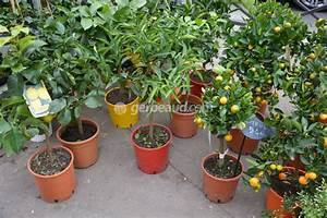 Planter Un Citronnier : ou planter un citronnier ~ Melissatoandfro.com Idées de Décoration