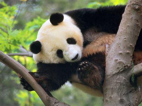 Panda Bear Wallpaper