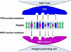 Mechanistic basis for TCR degeneracy. αβ TCR-expressing ...